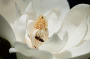 magnolia-419641_640